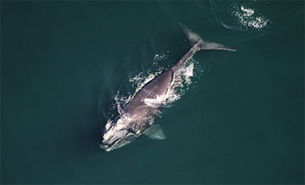 Hatfield to support endangered right whale protection through new space-based detection system using deep learning applied to satellite images.
